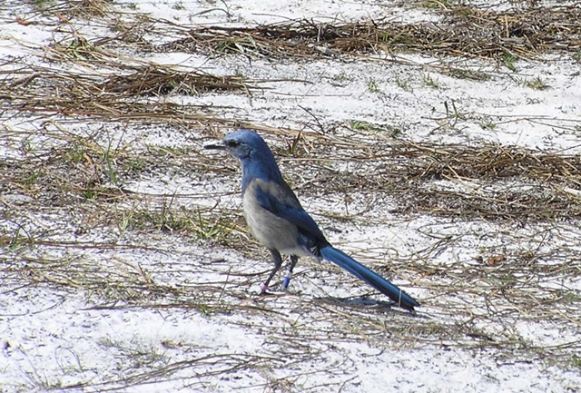 01-The Florida Scrub Jay