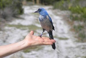 Floridas Natur Florida Scrub Jay