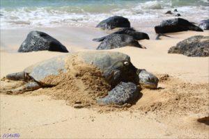 Mama-turtle