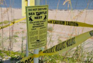 Turtle-nest Venice Beach