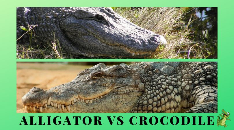 Alligator und Krokodil
